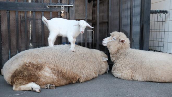 子ヤギと羊