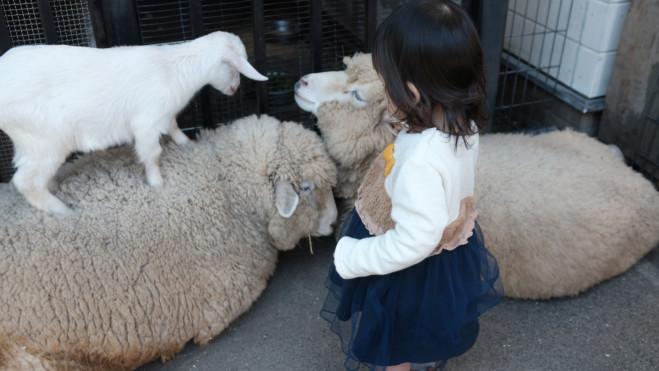 羊たちが気になる娘